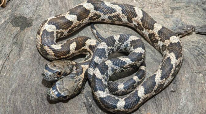 Tanpa bekerja sama ular berkepala dua ini tak akan bisa selamat jika tidak bisa bekerja sama. (Metro)
