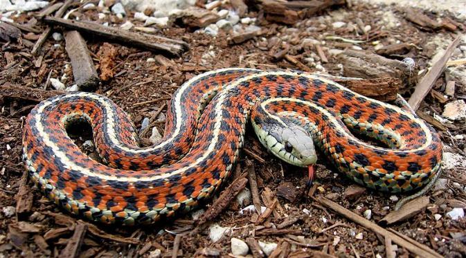 Terdapat beberapa kemungkinan masuknya ular ke dalam rumah. Salah satunya karena tersasar.